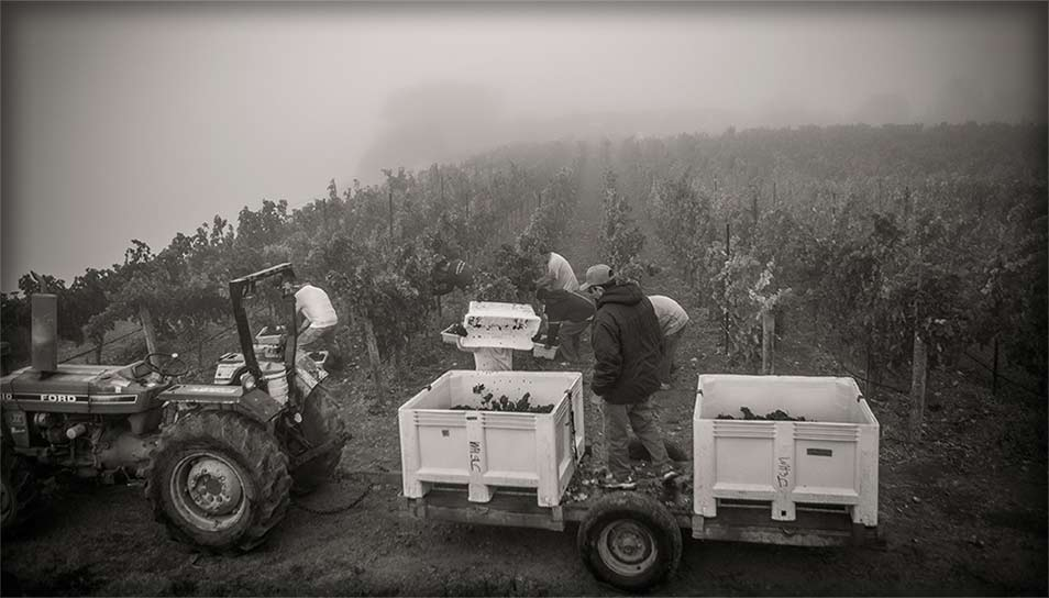 Emptying bin of grapes